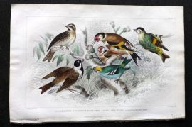 Goldsmith 1866 Hand Col Bird Print. Redpole, Goldfinch, Siskin, Reed Bunting.